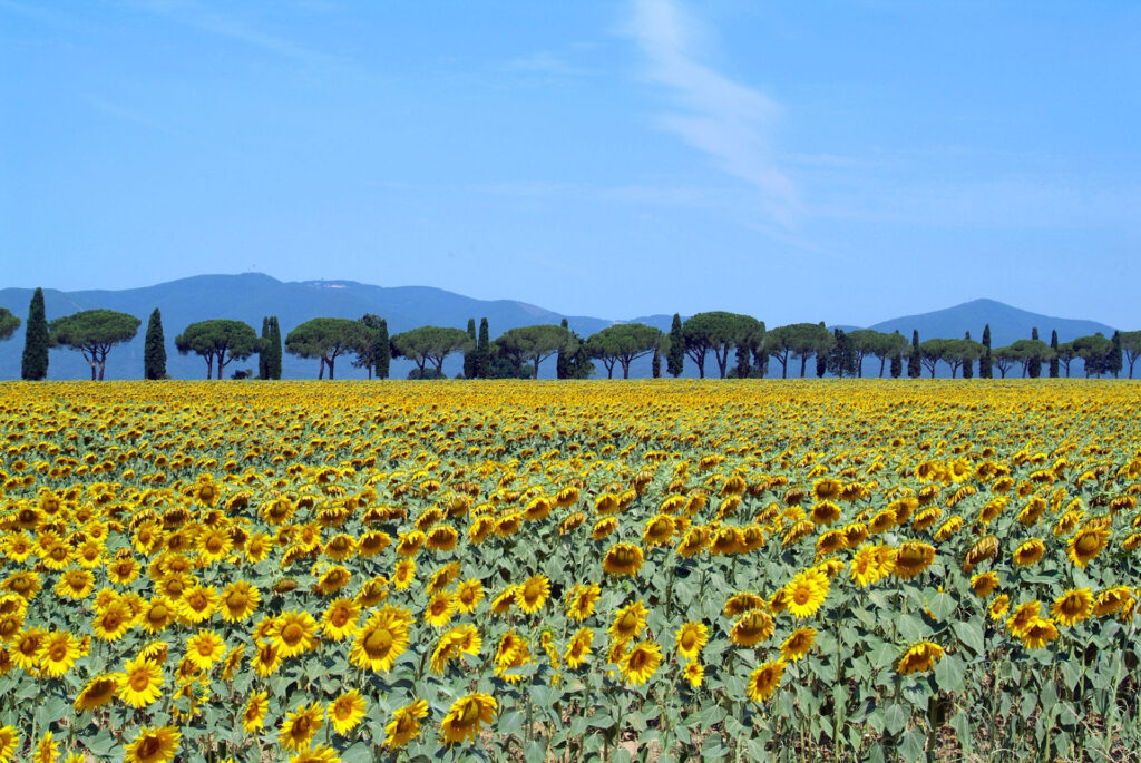Sunflowers-in-bloom-in-Maremma-in-Italy