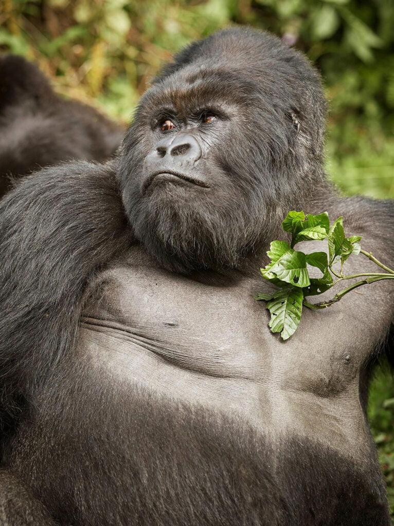 Gorilla watching in Rwanda